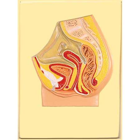 anatomiya-zhenskogo-vlagalisha-v-razreze
